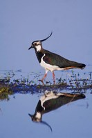 Northern Lapwing Butterfly Fine-Art Print