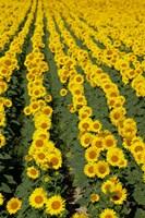 Sunflowers, Provence, France Fine-Art Print