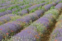 Rows of Lavender in France Fine-Art Print