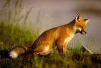 Red Fox Cub Fine-Art Print
