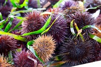 Street Market Stall with Sea Urchins Oursin, France Fine-Art Print