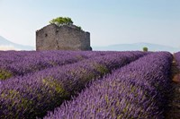 Lavender fields, Provence, France Fine-Art Print