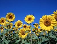 Sunflowers, France Fine-Art Print