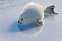 Harp Seal Pup on Ice Fine-Art Print