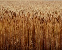 Field of Wheat, France Fine-Art Print