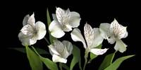 White Alstromeria Fine-Art Print