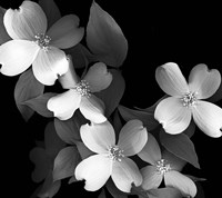 Dogwood (black & white) Fine-Art Print