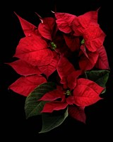 Poinsettia 2014 Fine-Art Print