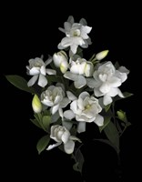 Gardenia '06 Fine-Art Print