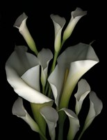 White & Crystal Blue Callas 2 Fine-Art Print