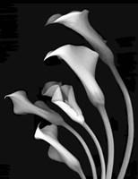 Calla Lilies 3 Fine-Art Print