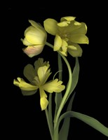 Yellow Dutch Tulip 1 Fine-Art Print