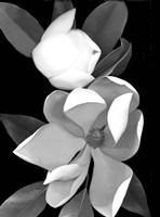 White Magnolia 1 Fine-Art Print