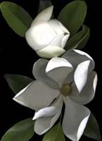 White Magnolia 2 Fine-Art Print