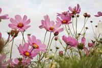 Field of Pink Fine-Art Print