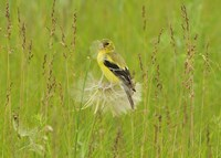 Yellow And Black Bird In Field Fine-Art Print