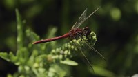Shades Of Nature Red Dragonfly Fine-Art Print