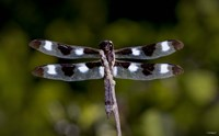 Dragonfly With Brown And White Speckle Fine-Art Print