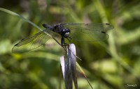 Dragonfly Perched On Blade Fine-Art Print