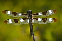 Dragonfly With Brown And White On Branch Fine-Art Print