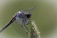 Dragonfly Landing On Flower Fine-Art Print