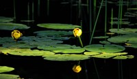 Shades Of Nature Yellow Water Lily I Fine-Art Print