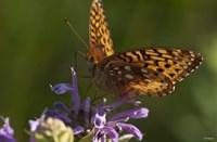 Orang Butterfly On Purple Wildflower Fine-Art Print