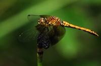Orange Dragonfly On Stem Fine-Art Print
