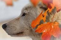 Wolf Profile Autumn Leaves Fine-Art Print