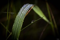 Grass Blade Covered With Dew Fine-Art Print