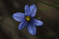 Blue Wildflower With Dew Fine-Art Print