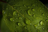 Drops Of Rain On Leaf Fine-Art Print