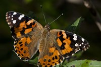 Butterfly With Brown And Black Specks Fine-Art Print