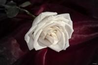 White Rose On Wine Closeup Fine-Art Print