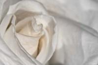 White Rose Closeup Fine-Art Print