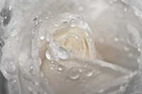 White Rose Closeup With Dew II Fine-Art Print