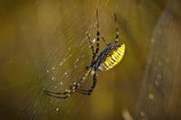 Yellow Spider On The Web Fine-Art Print