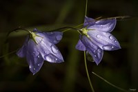 Drops Of Rain On Purple Wildflowers Fine-Art Print