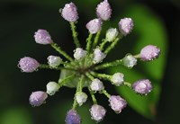Purple Flower Buds With Dew Fine-Art Print