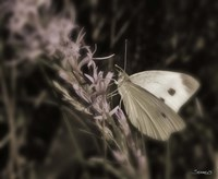 Moth On Lavendar Wildflower Fine-Art Print