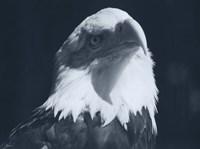 Bald Eagle 2 Fine-Art Print