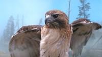 Skies Of Yellowstone - Redtail Hawk Fine-Art Print