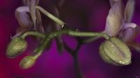 Green Buds On Purple Fine-Art Print