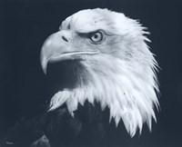 Bald Eagle 3 Fine-Art Print