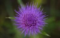 Shades Of Nature Purple Spiked Flower II Fine-Art Print
