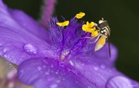 Bee On Purple And Yellow Flower Fine-Art Print