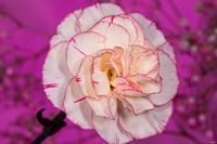 Pink And White Carnation On Magenta I Fine-Art Print