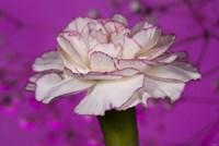 Pink And White Carnation On Purple I Fine-Art Print