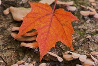 Fallen Red Leaf Fine-Art Print