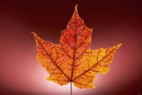 Red Fall Leaf On Red Background Fine-Art Print